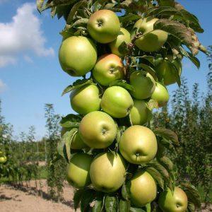 Плодовые саженцы