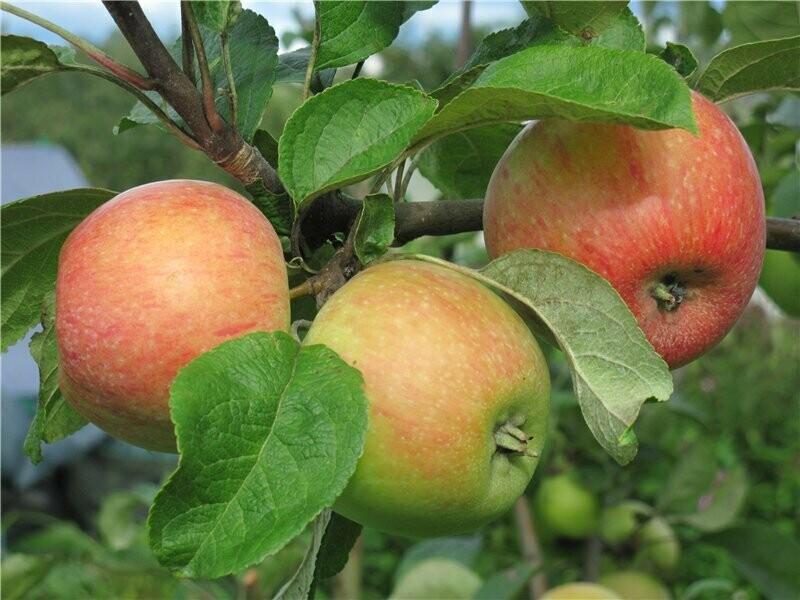 яблоня карамельное фото описание